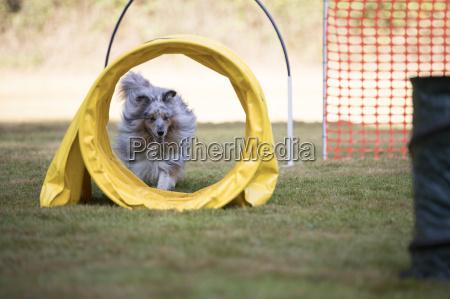 dog shetland sheepdog with agility tunnel