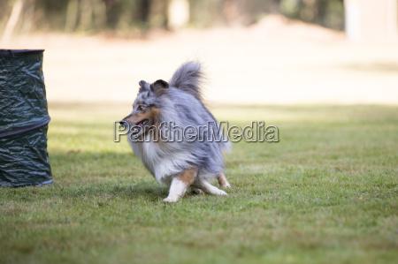 dog shetland sheepdog running on grass