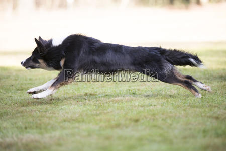 dog border collie running side view