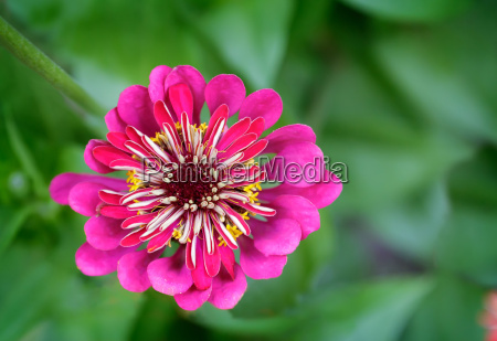 beautiful blooming zinnias on a background