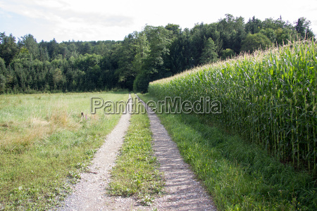 dirt road between meadow and cornfield