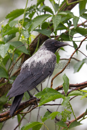 crow sitting on a shrub in