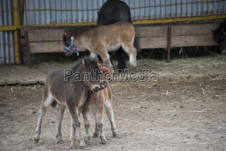 miniature, horse, in, the, farm - 19220735