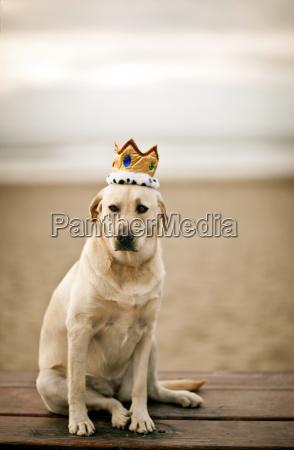 portrait of golden labrador wearing crown