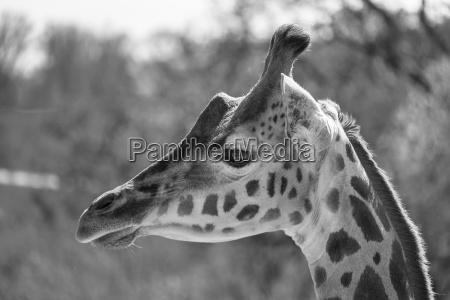 portrait of a giraffe in black