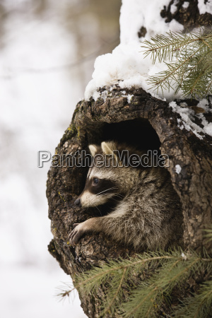 racoon emerging from tree trunk