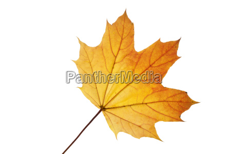 maple leaf with autumn coloration on