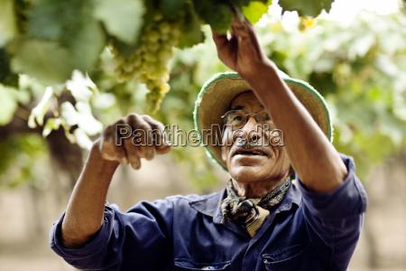 mature man picking grapes in vineyard
