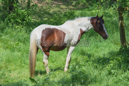 brown white horse in a pasture