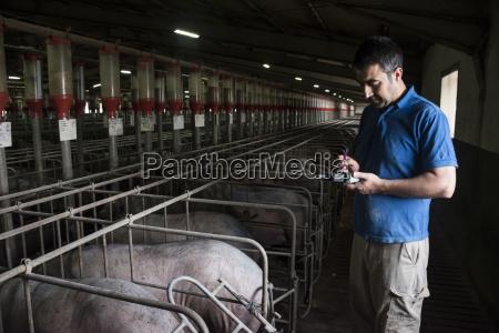 salamanca spain pig farmer examining iberian