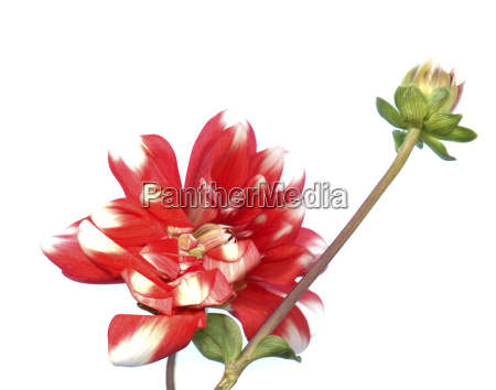 red white dahlia and bud in