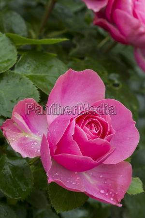 pink rose blossom with water drops
