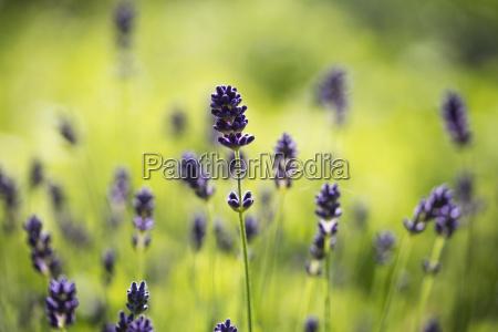 lavender lavandula angustifolia in garden