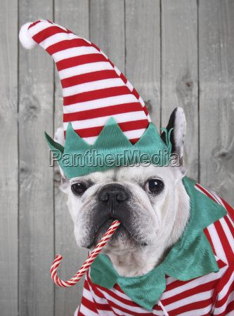 portrait of french bulldog dressed up