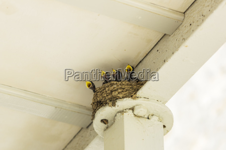 four hungry young swallows in nest