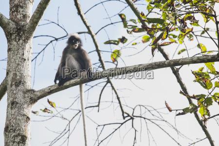 thailand dusky leaf monkey