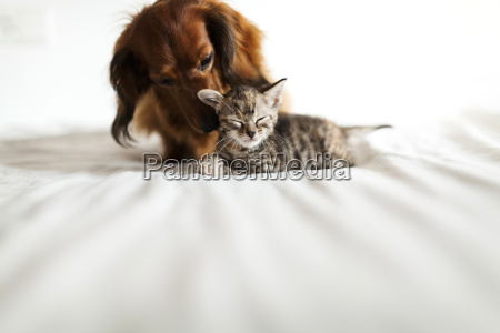 long haired dachshund and tabby kitten