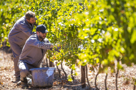 two men harvesting grapes in vineyard
