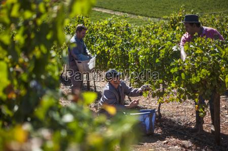 grape harvest in vineyard