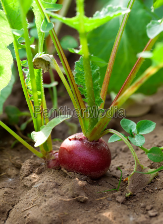 red radish on a bed in