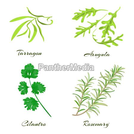 herbs tarragon arugula cilantro or coriander