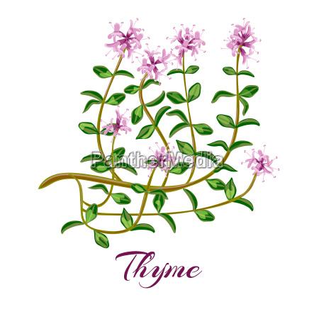flowering thyme thyme herb