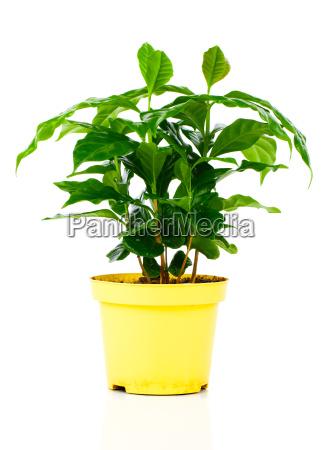 coffee plant tree