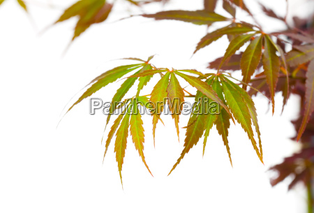 japanese red maple tree leaves acer