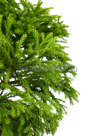 the japanese cedar cryptomeria japonica globosa