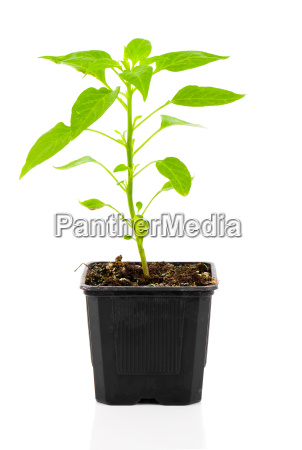 pepperoni seedlings plant in a pot