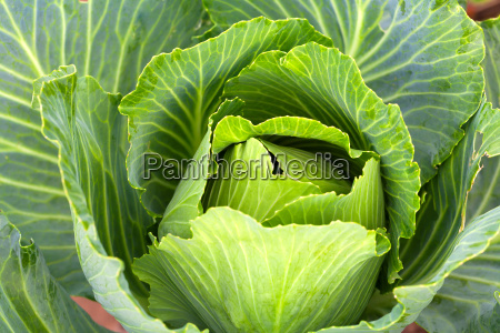 cabbage in the vegetable garden