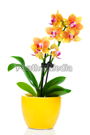 orchid or orchid family orchidaceae