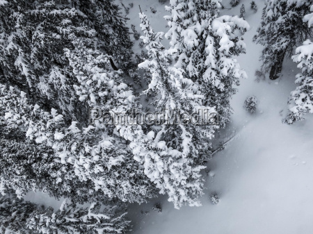 aerial view of pines trees covered