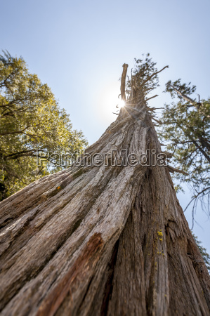 a tall redwood tree with the
