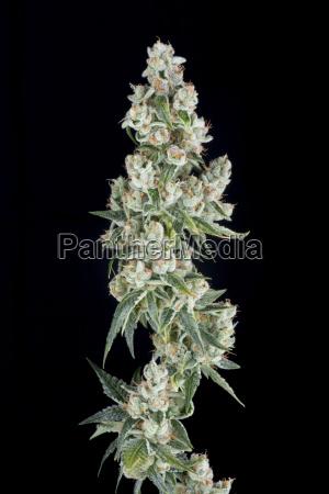 denver colorado a medical marijuana plant