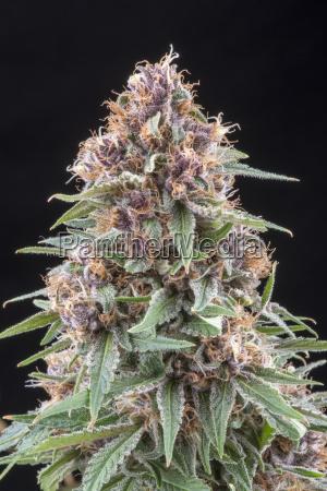 denver colorado a flowering medical marijuana