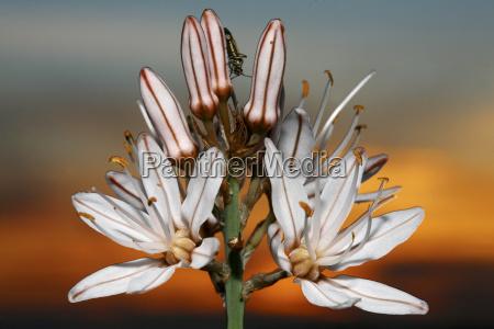 gamon blanco asphodelus albus summer flower