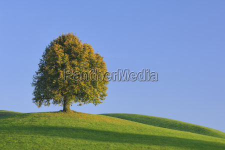 lime tree in autumn canton of