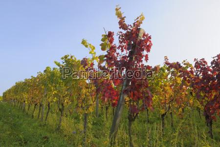 vineyard in autumn volkach franconia bavaria