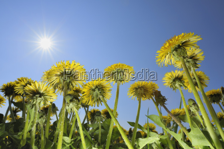 looking up at dandelions