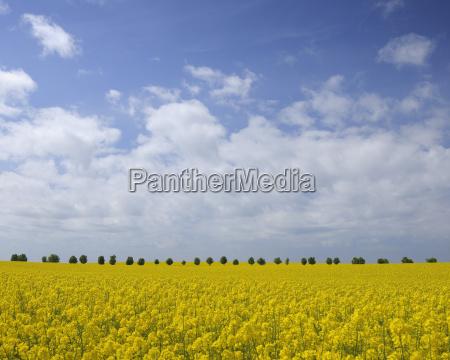 canola field ruegen ruegen district mecklenburg