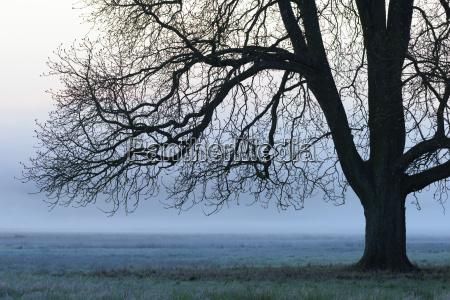 chestnut tree in morning mist hesse
