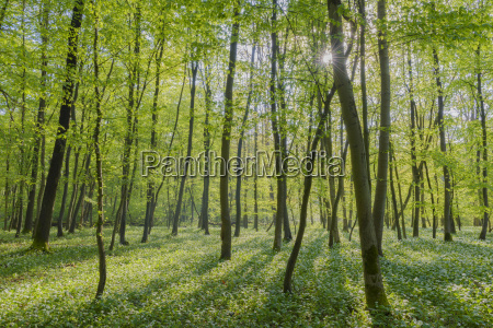 sun through european beech forest fagus