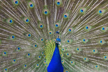portrait of peacock with tail feathers