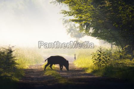 silhouette of wild boar on a