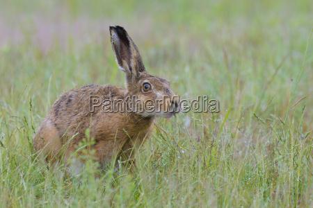 european brown hare lepus europaeus in