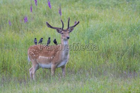 male fallow deer cervus dama with