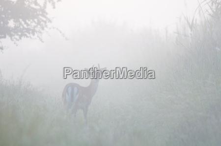 male fallow deer cervus dama on
