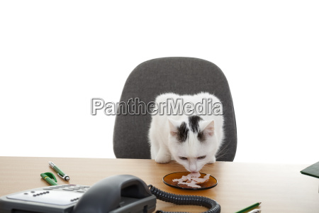 cat sit at the desk