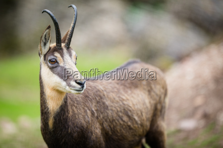 chamois, (rupicapra, rupicapra), within, its, natural - 19419628